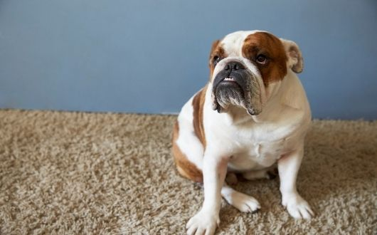 How To Properly Care for Your Carpet if You Have Pets